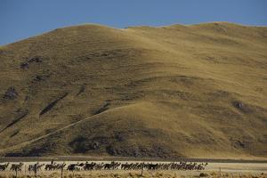 A Quechua Worker Herds Alpaca to Graze Below Brown Hills, at an Alpaca Breeding Ranch by Beth Wald