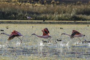 Andean Flamingos, One of the Rarest Flamingos in the World, Take Off from a Pond by Beth Wald