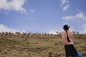 Quechua Women Spread Out on Hills and Create a 'Fence' as They Herd Wild Vicuna by Beth Wald