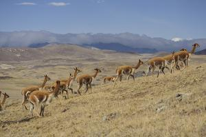 Wild Vicuna Run from Quechua Herders, During the Gran Chaccu, a Yearly Vicuna Round Up by Beth Wald
