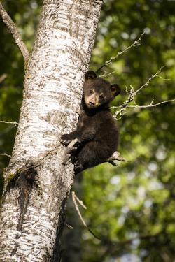 Bear Cub in Tree IV by Beth Wold