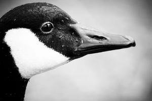 Canadian Goose II by Beth Wold