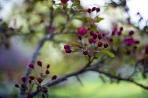 Crabapple Buds by Beth Wold