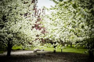 Crabapple in Spring I by Beth Wold
