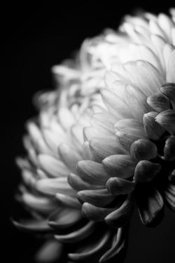 Dahlia I by Beth Wold
