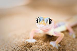 Dune Gecko II by Beth Wold