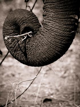Elephant Trunk by Beth Wold