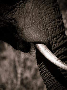 Elephant Tusk by Beth Wold