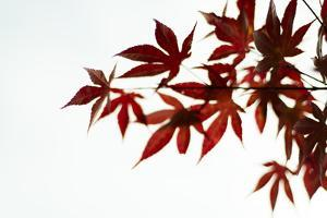 Japanese Maple II by Beth Wold