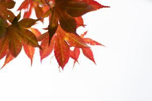 Japanese Maple III by Beth Wold