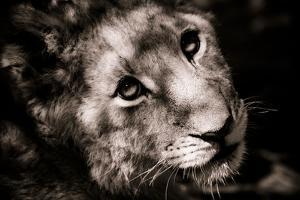 Lion Cub I by Beth Wold