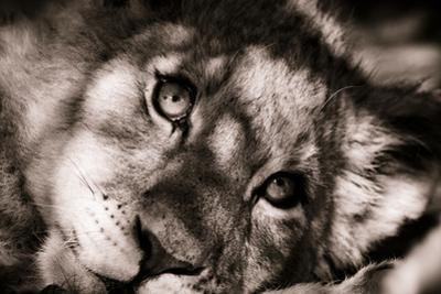 Lion Cub II by Beth Wold