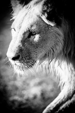 Male Lion II by Beth Wold