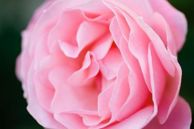 Pink Rose III by Beth Wold