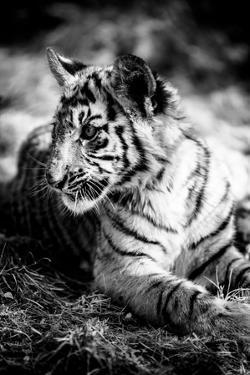 Tiger Cub III by Beth Wold