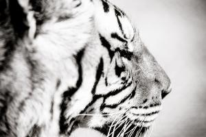 Tiger by Beth Wold