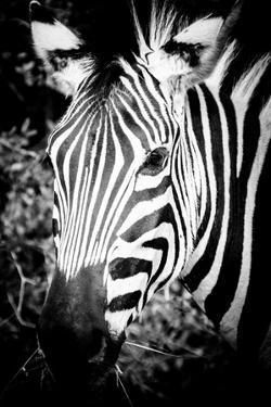 Zebra III by Beth Wold
