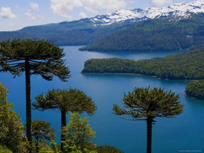 Araucaria Trees Above Lago Conguillio by Bethune Carmichael