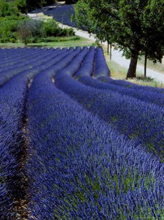 Lavender Field, Provence by Bethune Carmichael