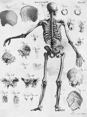 Anatomy:The Human Skeleton Frame by Bettmann