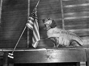 Dachshund Looking At American Flag by Bettmann