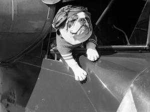 Dog Flying in Aircraft by Bettmann