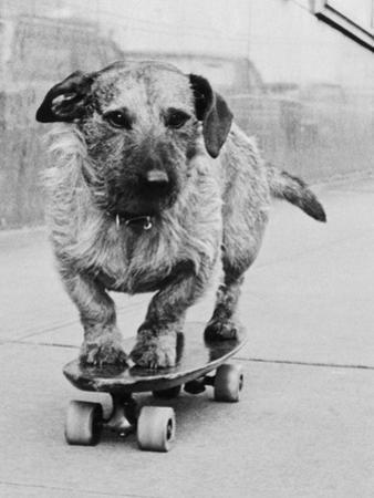 Dog Riding Skateboard by Bettmann