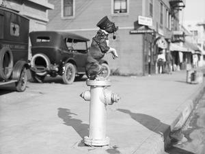 Dog Seated on Fire Hydrant by Bettmann