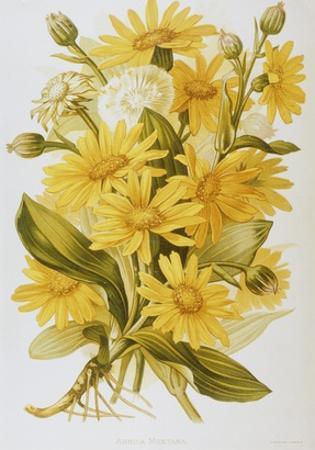 Illustration Depicting Arnica Montana Plants by Bettmann