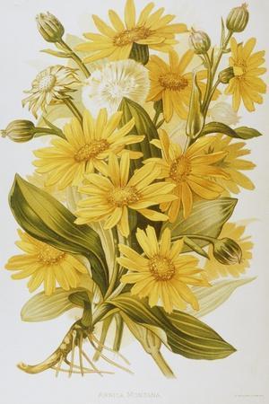 Illustration Depicting Arnica Montana Plants