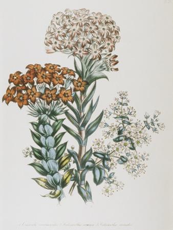 Illustration of Different Types of Crassulas by Bettmann