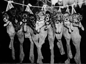 Puppies Hanging from a Clothesline by Bettmann