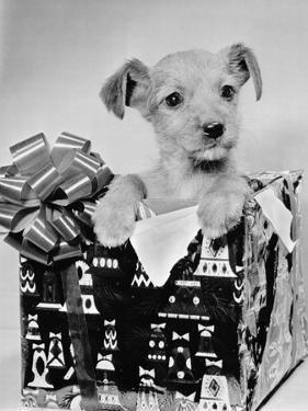 Puppy in a Christmas Box by Bettmann