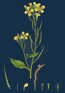 Betula Verrucosa; White Birch