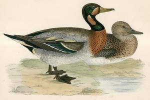 Bimaculated Duck by Beverley R. Morris
