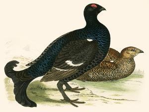 Black Grouse by Beverley R. Morris