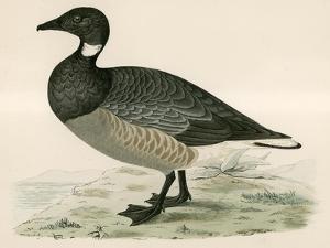 Brent Goose by Beverley R. Morris