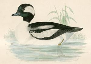 Buffel Headed Duck by Beverley R. Morris