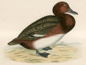 Ferruginous Duck by Beverley R. Morris