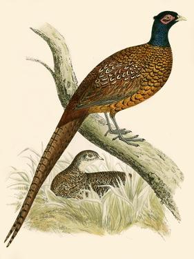 Pheasant by Beverley R. Morris