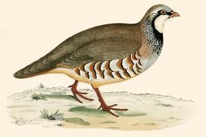 Red Legged Partridge by Beverley R. Morris