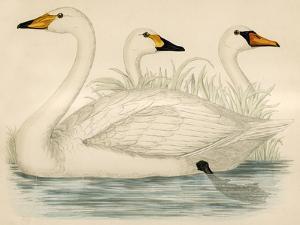 Swans by Beverley R. Morris