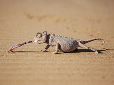 Reptile Chameleon in Nambia by Beverly Houwing