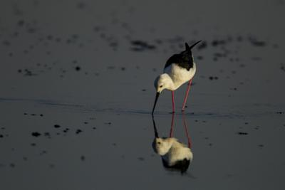A Black-Winged Stilt, Himantopus Himantopus, Foraging in the Water