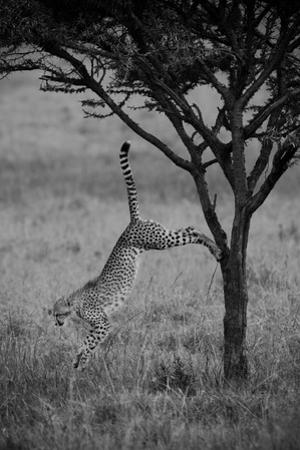 A Cheetah, Acinonyx Jubatus, Leaps Down from the Trunk of a Small Tree in the Savanna by Beverly Joubert