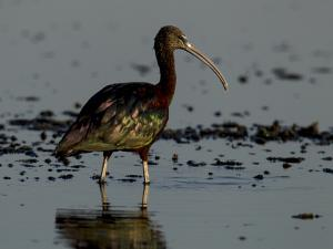A Glossy Ibis, Plegadis Falcinellus, Wading in Water by Beverly Joubert