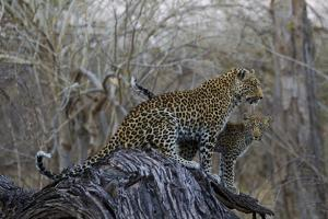 A Leopard and Her Cub Sitting on and Fallen Tree and Looking Around by Beverly Joubert