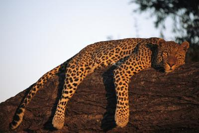 A Leopard, Panthera Pardus, Rests on a Large Tree Limb by Beverly Joubert