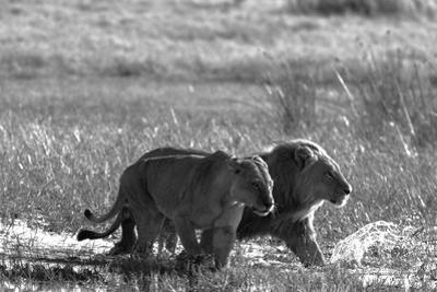 A Lion and Lioness, Panthera Leo, Walking Side by Side Through Flooded Grasses by Beverly Joubert