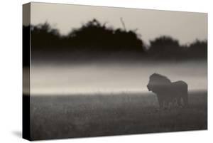 A lion is shrouded in mist, Misty Lion. by Beverly Joubert
